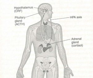 Human Body and Stress Response Glands